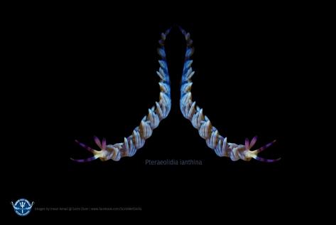 pteraeolidia-wallapaper-1280