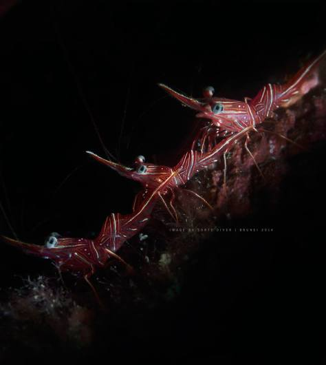 Bruce's Hinge Beak Shrimp. – Picture by Irwan Ismail