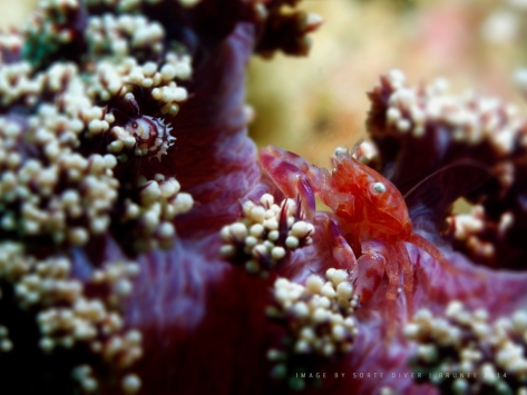 Soft-coral-crab-and-cowry